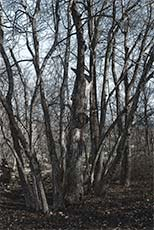 white-gray-bark-trees-growing-out-from-central-spot